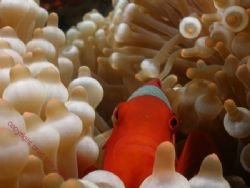 HELLO THERE ...... anemone fish Bali Full frame Olympus 7070 by Brad Cox 